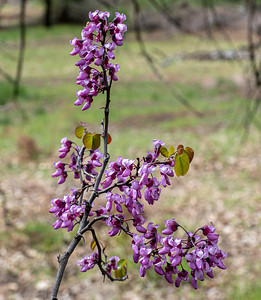 Redbuds are simply beautiful, eh!