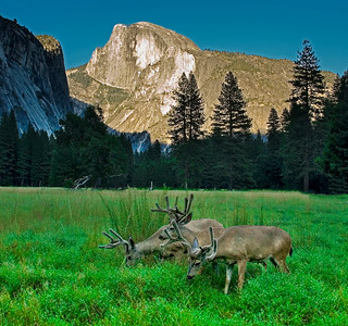 Yosemite_Deer-1