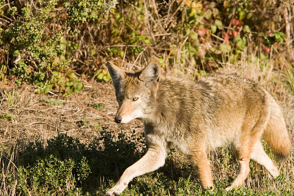 Coyote at Point Reyes National Seashore.