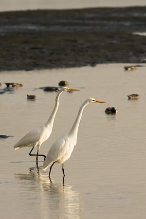 Herons at Inverness Bay.