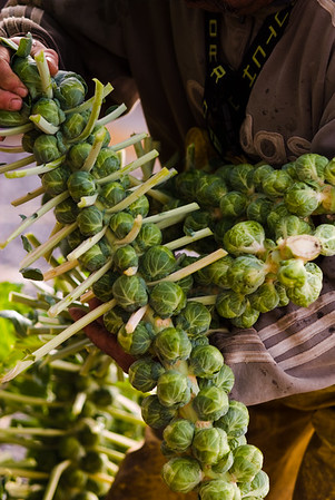 Harvesting locally grown Brussel Sprouts