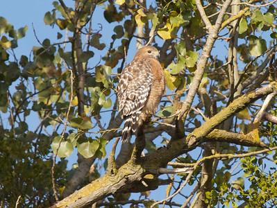 Red Shouldered Hawk  Copyright 2011 Neil Stahl