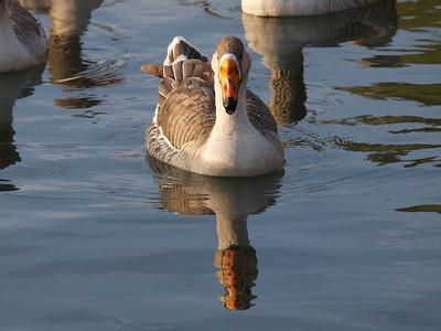 Mr. Goose  Copyright 2011 Neil Stahl