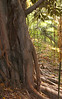 Younger tree in ravine in Balboa park (same species as huge one)