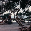 Unique Trees - La Jolla, CA - 1/30/86