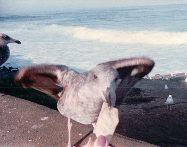 Seagulls at La Jolla, CA - 2/1/87
