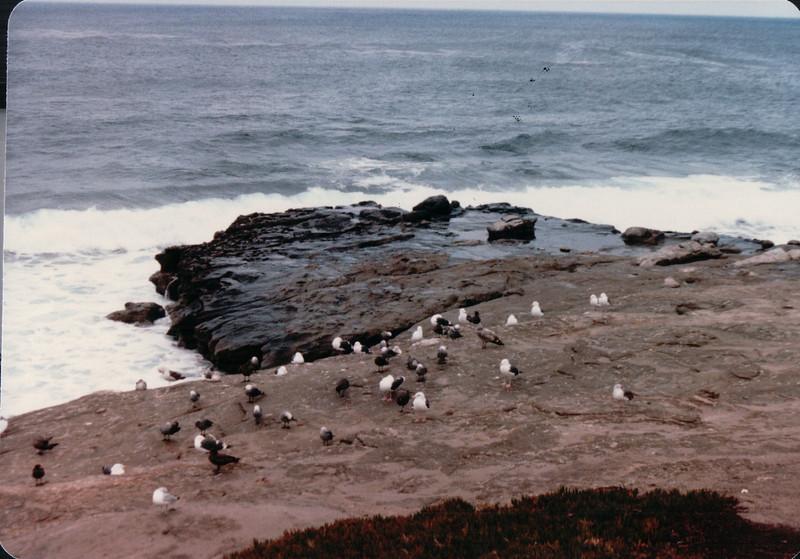 Seagulls in Cove - La Jolla, CA - 1/30/86