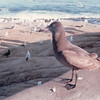 Seagulls at La Jolla, CA - 2/1/87