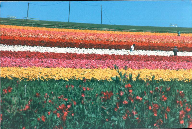 Ranunculus - The Flower Fields - Carlsbad, CA  4-1-96