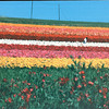 Ranunculus - The Flower Fields - Carlsbad, CA  4-1-96