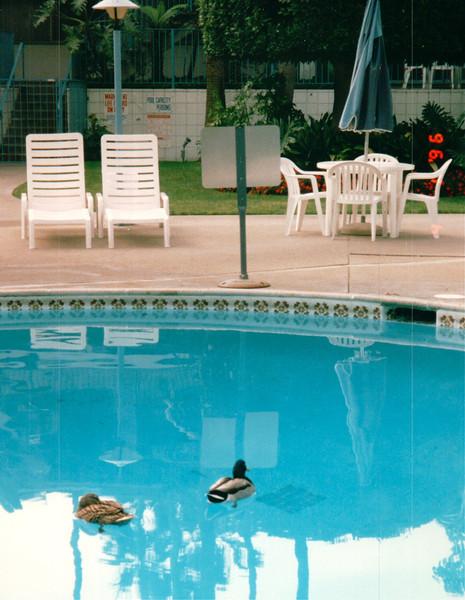 Mallard Ducks in Pool - Hanalei Hawaiian Hotel, San Diego, CA  4-1-96