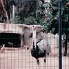 Ostrich - San Diego Zoo - San Diego, CA - 1/31/86