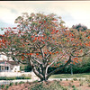 Coral Tree - Heritage Park, Near Old Town - San Diego, CA  3-30-96