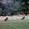 Flamingos - San Diego Zoo - San Diego, CA - 1/31/86