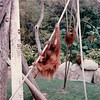 Orangutans - San Diego Zoo - San Diego, CA - 1/31/86