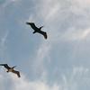 Pelicans?  Tidepools Area - Cabrillo State Park - Point Loma, CA  3-30-96