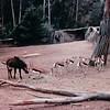 Gazelles - San Diego Zoo - San Diego, CA - 1/31/86