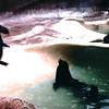 Seals - San Diego Zoo - San Diego, CA - 1/31/86
