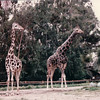 Giraffes - San Diego Zoo - San Diego, CA - 1/31/86