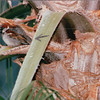 Sparrow in Palm Tree - Hanalei Hawaiian Hotel, San Diego, CA  4-1-96