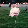 Flamingo - San Diego Zoo - San Diego, CA - 1/31/86