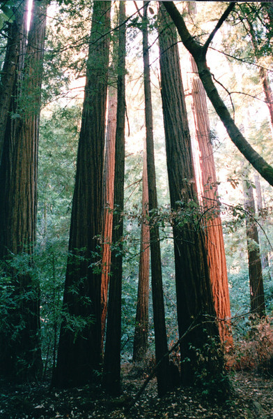 Might Giant Redwoods - Muir Woods National Monument, CA  9-8-03