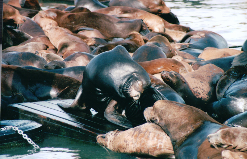 Harbor Seals at Pier 39 - San Francisco, CA  9-7-03