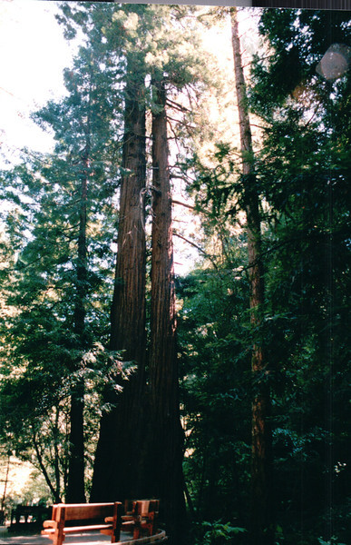 Redwoods - Muir Woods National Monument, CA  9-8-03
