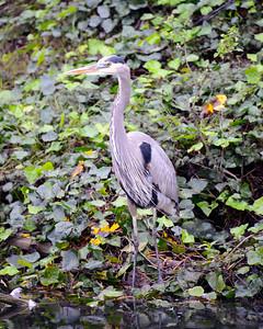 Great Blue Heron -  San Francisco - California - USA