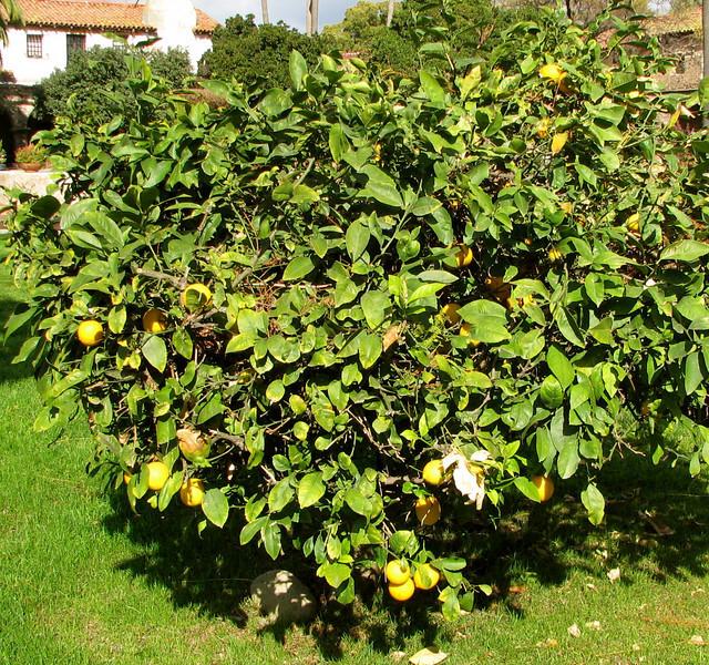 Lemon Tree - Courtyard - Mission San Juan Capistrano