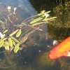 Flowering Pond Plant and Fish - Mission San Juan Capistrano 2-12-07