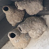 Swallow Nests - Mission San Juan Capistrano 2-12