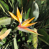Bird of Paradise Have Been Prevalent - Mission San Juan Capistrano 2-12