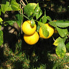 Lemons - Courtyard - Mission San Juan Capistrano