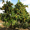 Orange Tree - Mission San Juan Capistrano 2-12