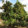 Orange Tree - Mission San Juan Capistrano 2-12