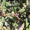 The Cacti Are So Unusual - Mission San Juan Capistrano 2-12