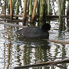 American Coot - San Joaquin Wildlife Sanctuary 2-12