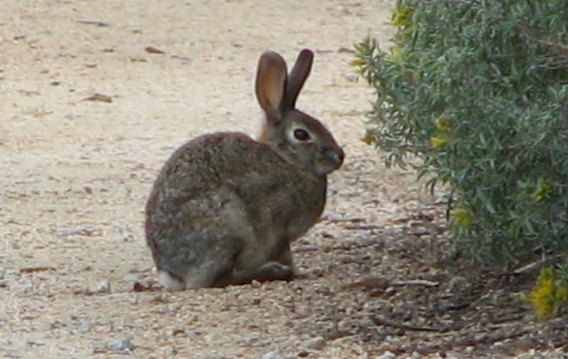Rabbit - San Joaquin Wildlife Sanctuary 2-12