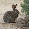 Rabbit - San Joaquin Wildlife Sanctuary 2-12