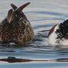 Northern Shoveler - San Joaquin Wildlife Sanctuary 2-12