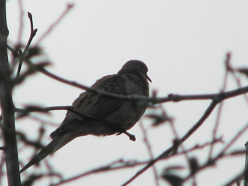 Dove - San Joaquin Wildlife Sanctuary 2-12-07