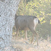 Distinguishing Mark of Mule Deer Which is Part of the Black-tailed Deer Species - Santa Rosa Plateau Ecoglogical Reserve - Murrieta, CA  2-15-07