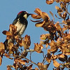 Acorn Woodpecker in Coastal Live Oak Forest - Santa Rosa Plateau Ecoglogical Reserve - Murrieta, CA  2-15-07