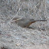 Rusty Rump of the California Towhee - Santa Rosa Plateau Ecoglogical Reserve - Murrieta, CA  2-15-07