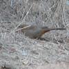 Rusty Rump of the California Towhee - Santa Rosa Plateau Ecoglogical Reserve - Murrieta, CA  2-15-07