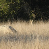 First Sighting of Coyote in the Grass - Santa Rosa Plateau Ecoglogical Reserve - Murrieta, CA  2-15-07