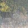 Doe and Fawn - Mule Deer - Santa Rosa Plateau Ecoglogical Reserve - Murrieta, CA  2-15-07