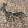 Female Mule Deer - Santa Rosa Plateau Ecoglogical Reserve - Murrieta, CA  2-15-07
