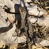 Lizard on Trail - Santa Rosa Plateau Ecoglogical Reserve - Murrieta, CA  2-15-07